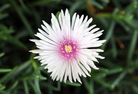iceflower: Fiore bianco del ghiaccio
