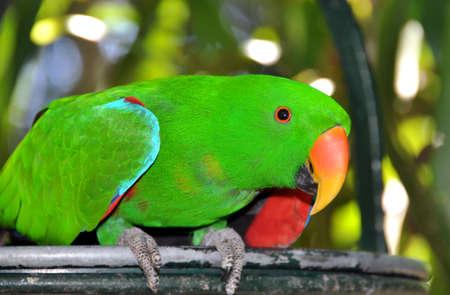 eclectus: Eclectus Parrot