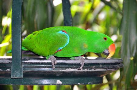 eclectus parrot: Eclectus Parrot