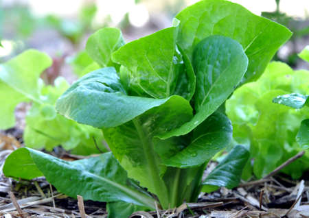 homegrown: Homegrown organic cos lettuce