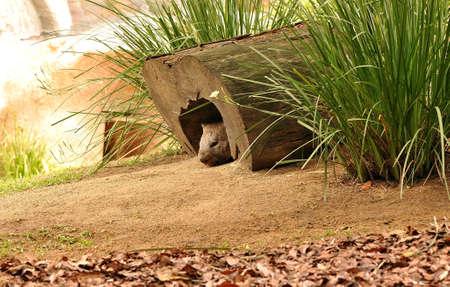 wombat: Vombatidae  Foto de archivo