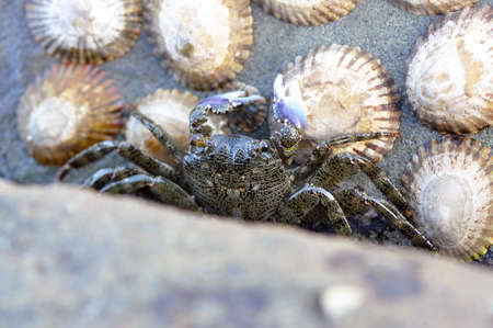 Rock Crab photo