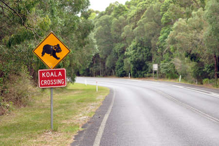 Koala Crossing Stock Photo - 6031448