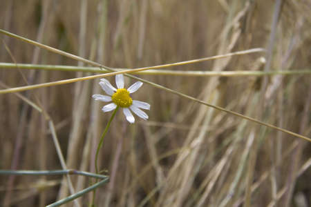 Camomile in the wheat photo