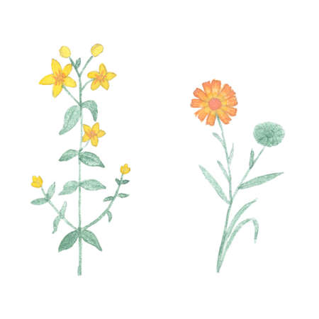 calendula: Watercolor tutsan and calendula isolated on white background. Hand drawn healing herb isolated. Stock Photo