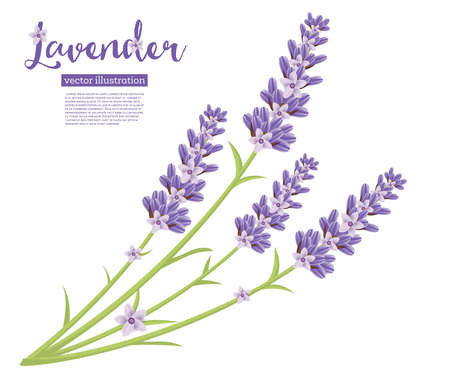 Branch of Lavender Flowers Isolated on White. Vector Illustration.