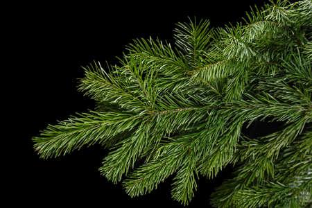 spruce branch on a dark background