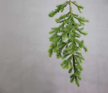 spruce branch on a gray background