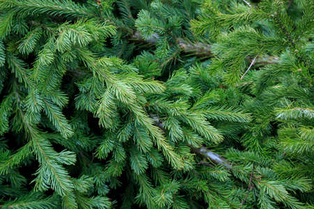 Fresh fir branches background. Christmas tree branches. Banco de Imagens