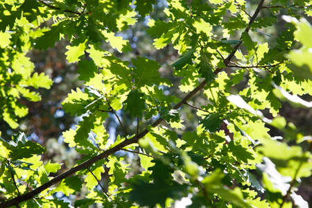 Branches and leaves of oak in sunny weather