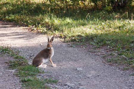 Hare sitting on a rural road shows tongue