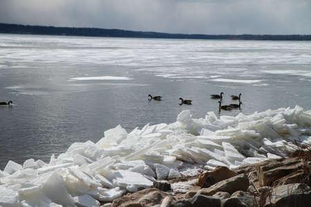 migrating: ducks migrating
