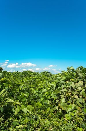 smothered: Field covered in kudzu