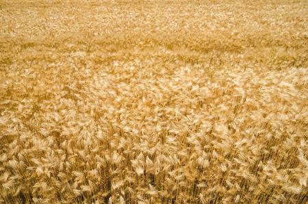 cebada: Cebada campo  Foto de archivo