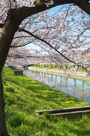 waterside: Waterside of cherry trees