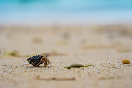 Hermit crab walking along beach with waving sea blurry background of Okinawa, Japan, April 2018