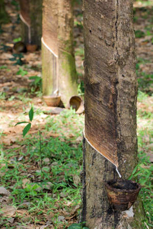 milk of rubber tree flows into a bowl photo