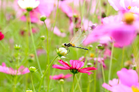 Dragonfly on a cosmos flower  photo
