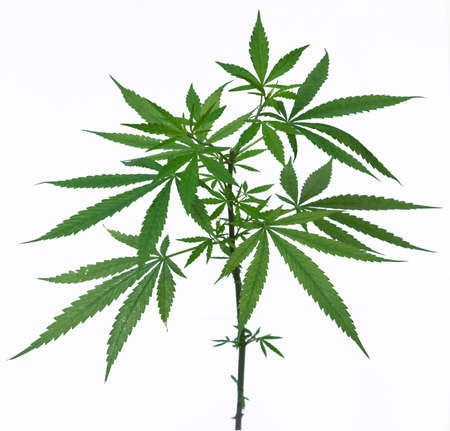 marijuana plant: A young new growing cannabis  marijuana  plants isolated on white