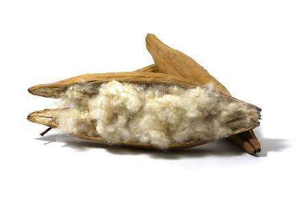 Kapok, Ceiba pentandra or White silk cotton tree( Ceiba pentandra (L.) Gaertn. Wong) Bombacaceae. kapok seeds with white fiber for making pillow isolated on white background