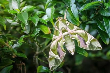 deilephila: Close up macro green butterfly oleander Hawk moth on the leaf