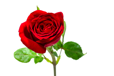 Single simple of red rose on white background, valentine day concept