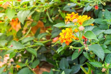 lantana: Closeup beautiful lantana orange flower in the garden