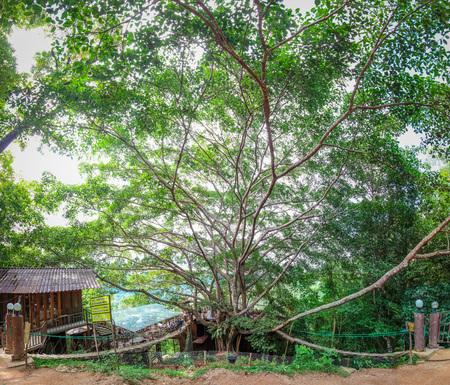 The Giant tree at Mae Kum Pong, Chiangmai, Thailand