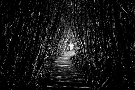 Black and White Tree tunnel with walkway, The Wooden Bridge In Mangrove Forest at Laem Phak Bia, Phetchaburi, Thailand Banco de Imagens - 105948321