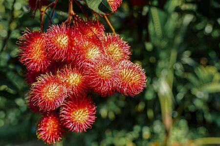 Plenty of rambutan on the tree with light flare