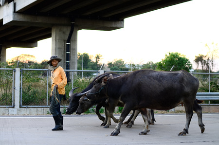 herdsman: herdsman Editorial