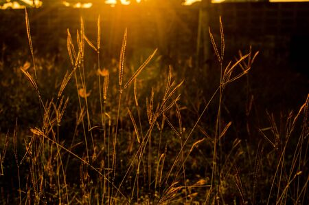 backlight: backlight of grass sunset scene Stock Photo