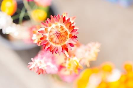 everlasting: everlasting blossom flower background Stock Photo