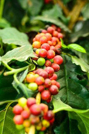 arbol de cafe: grano de caf� en una rama, �rbol de caf�