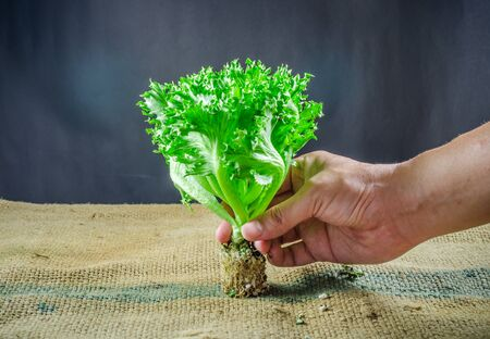 sack cloth: lettuce seedling on sack cloth