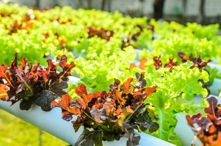lettuce from hydroponic plantation system