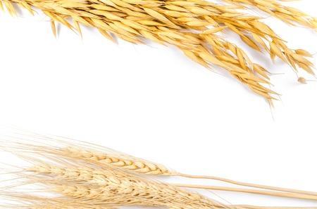 cebada: Capítulo de la cebada y la avena de grano de cereal en el fondo blanco