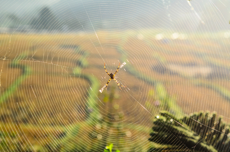 spiderweb with rice field background Stock Photo