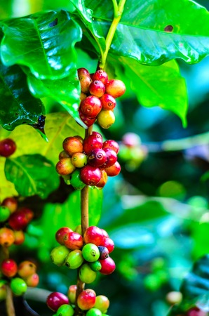 coffee bean ,coffee tree ,agriculture crop