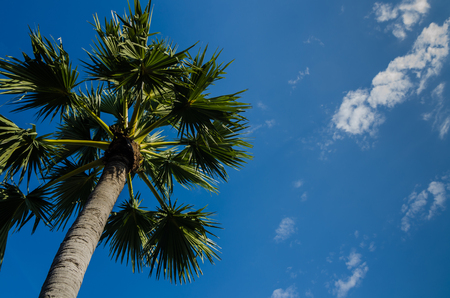 sugar palm tree against blue sky background