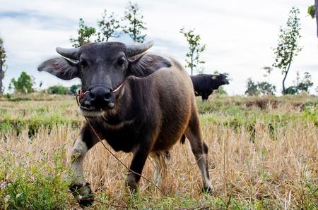east riding:   Buffalo