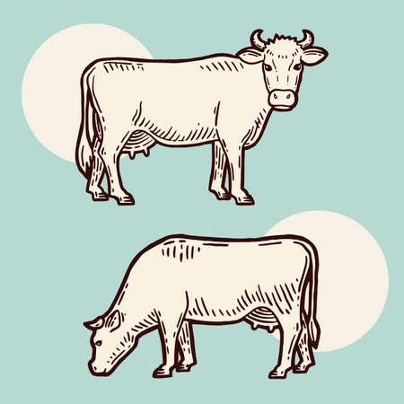 Set of cows. Farm animal. Hand drawn sketch. Vintage style. Color vector illustration.