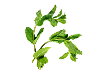 Top view of fresh mint twigs isolated on white. 写真素材