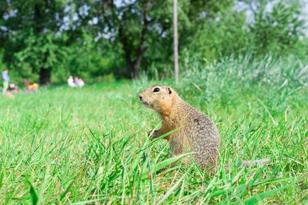 starring: Gopher standing profile and starring on meadow, some people on the background