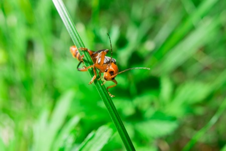 Macro of the orange black bug looking to the camera