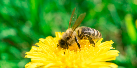 Bee collecting nectar and honey on the dandelion