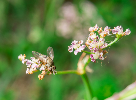 Small house fly sitting on the light-pink flower Stock Photo
