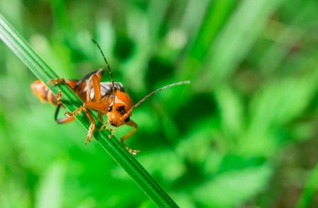 Macro of the orange black bug looking to camera