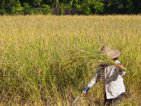 Thai farmer using sickle to harvesting rice field.