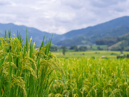 Close-up of yellow green rice field in Thailand.